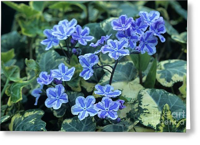 Omphalodes 'starry Eyes' Flowers Greeting Card by Archie Young