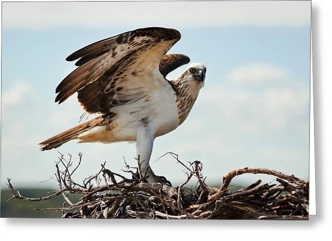 On Guard Greeting Card by Heather Thorning