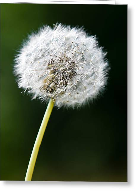 One Dandelion Flower Isolated  Greeting Card by Ulrich Schade