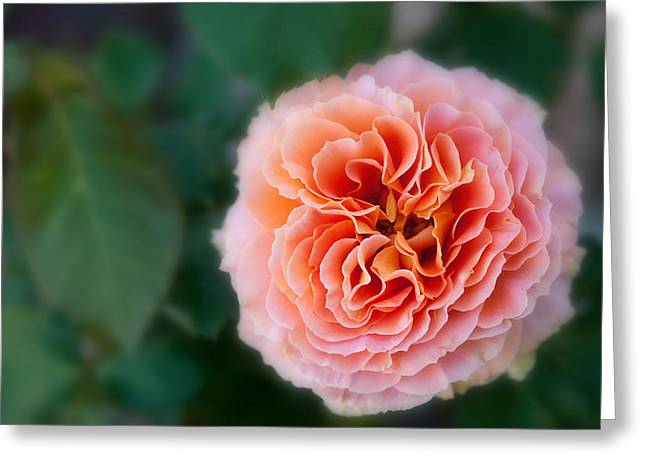 One Perfect Rose Greeting Card by Pamela Bycraft