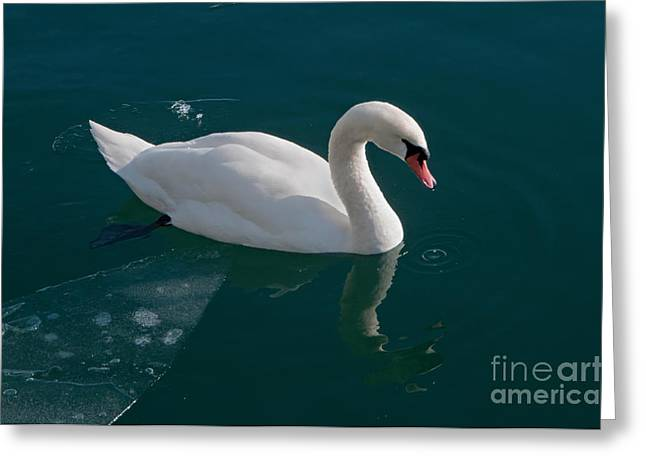 One Swan A-swimming Greeting Card