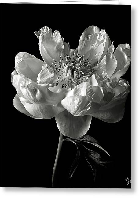 Open Peony In Black And White Greeting Card by Endre Balogh