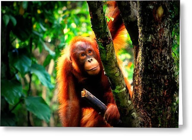 Greeting Card featuring the photograph Orang-utan by Lynn Hughes
