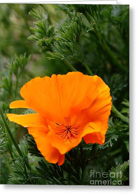 Orange California Poppy . 7d14778 Greeting Card by Wingsdomain Art and Photography