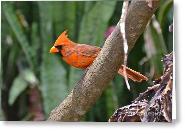 Orange Cardinal Greeting Card by Carol  Bradley