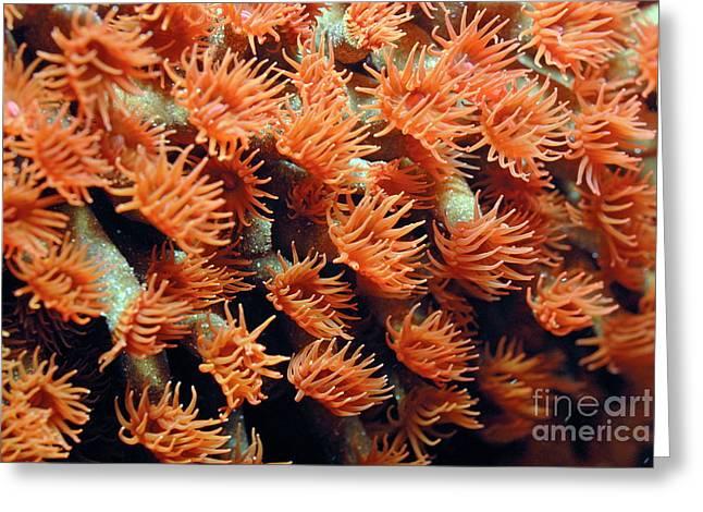 Orange Coral Polyps Greeting Card by Sami Sarkis