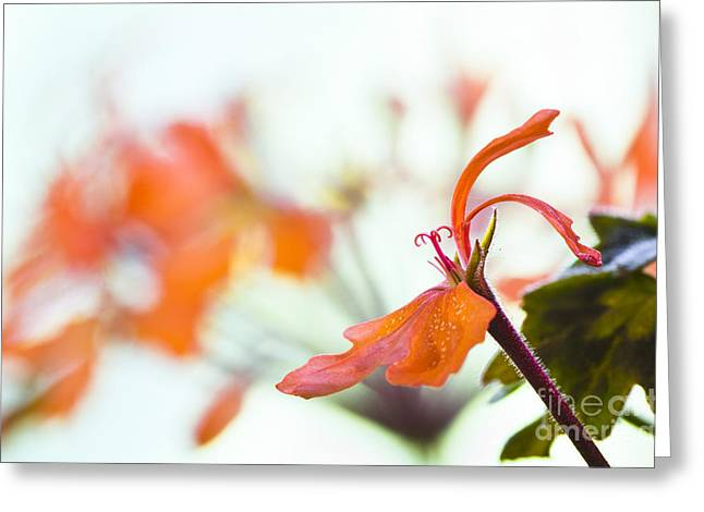 Orange Cranesbill Greeting Card by David Lade