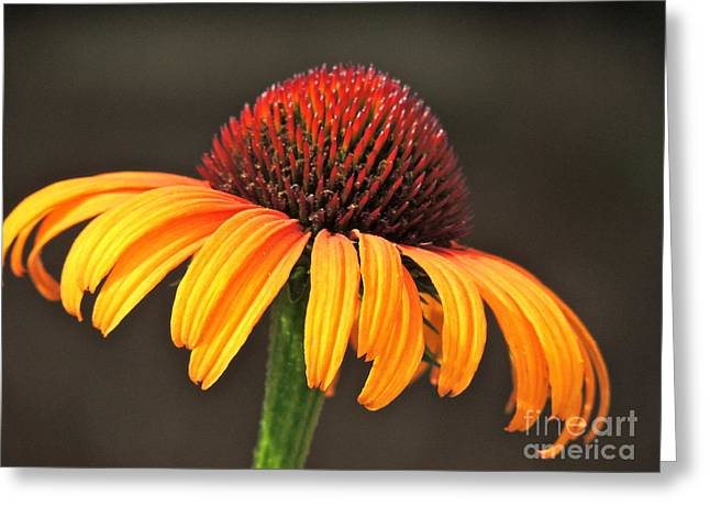 Greeting Card featuring the photograph Orange Crown by Eve Spring
