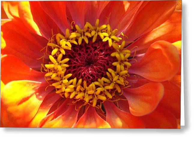 Greeting Card featuring the photograph Orange Daisy by Ronda Broatch