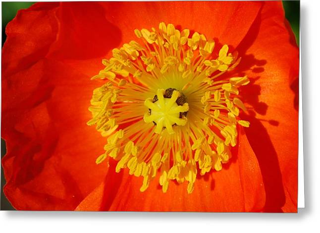 Orange Icelandic Poppy Greeting Card by Marilynne Bull