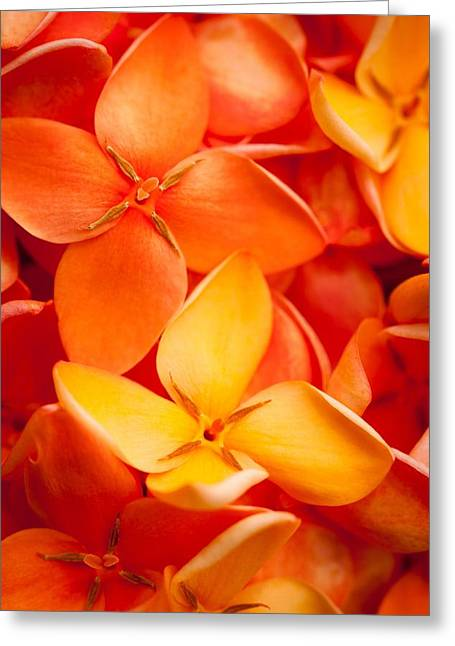 Orange Jungle Flame Flower Greeting Card by Johan Larson