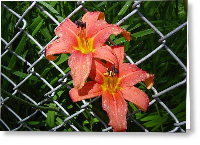 Greeting Card featuring the photograph Orange Lilly And Dewdrops by Frank Wickham