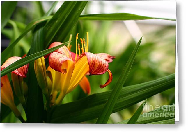 Greeting Card featuring the photograph Orange Lily by Denise Pohl
