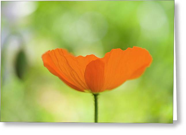Orange Poppie Greeting Card