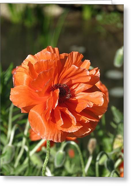 Greeting Card featuring the photograph Orange Poppy by Rebecca Overton