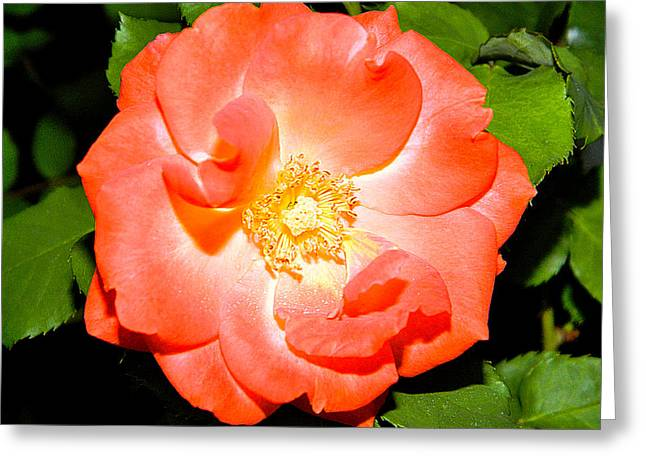 Greeting Card featuring the photograph Orange Rose  by Ester  Rogers