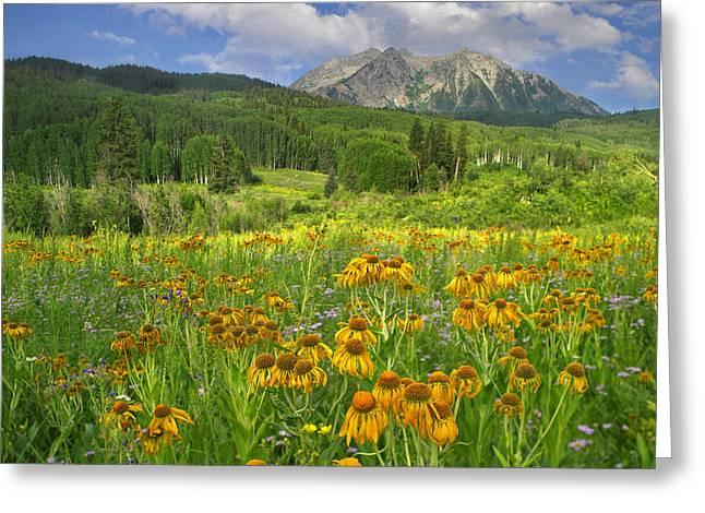 Orange Sneezeweed Blooming In Meadow Greeting Card