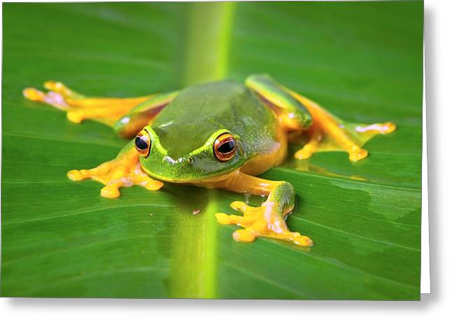 Orange Thighed Tree Frog Greeting Card