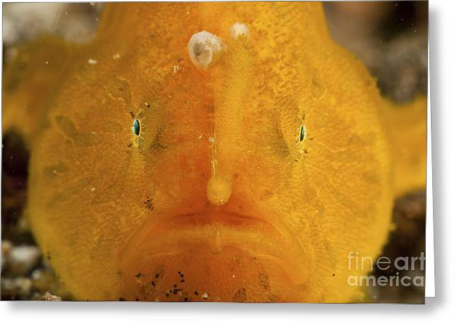 Orange Warty Frogfish, North Sulawesi Greeting Card by Mathieu Meur
