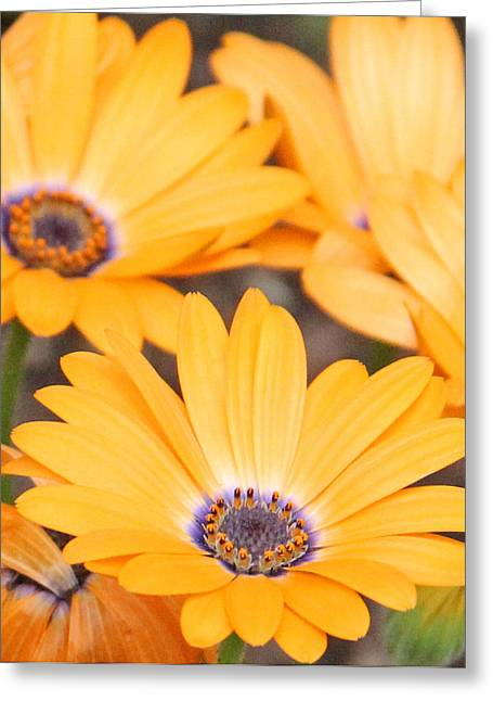 Orange With Purple Center Greeting Card by Becky Lodes