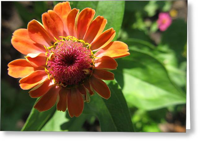 Greeting Card featuring the photograph Orange Zinia by Tina M Wenger
