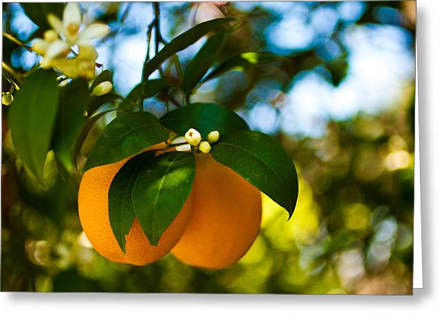Oranges And Blossoms Greeting Card by Dorothy Cunningham