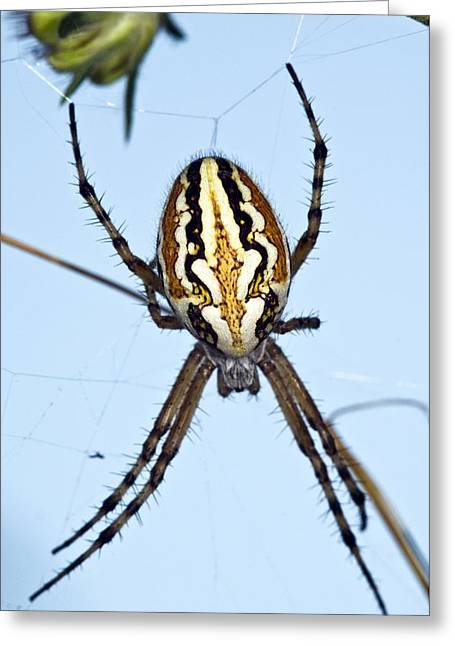 Orb-weaver Spider On Its Web Greeting Card by Paul Harcourt Davies