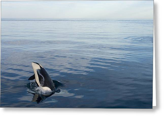 Orca Breaching Southeast Alaska Greeting Card by Flip Nicklin