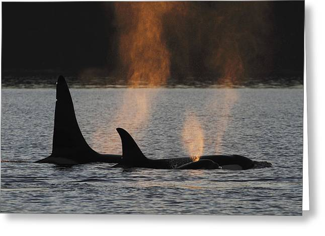 Orca Orcinus Orca Resident Pod Greeting Card