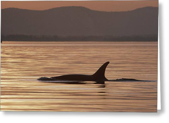 Orca Orcinus Orca Surfacing, North Greeting Card
