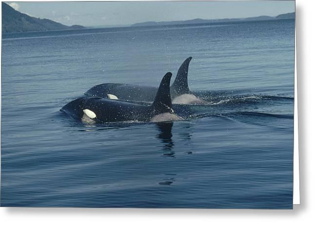 Orca Pair Surfacing British Columbia Greeting Card by Flip Nicklin
