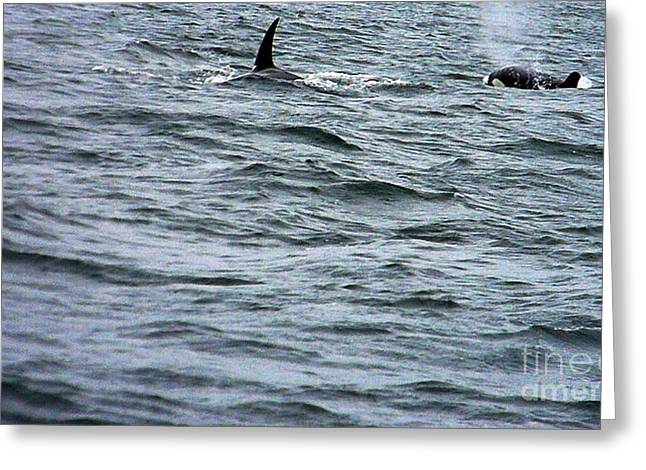 Orca Whales Greeting Card by Derek Swift