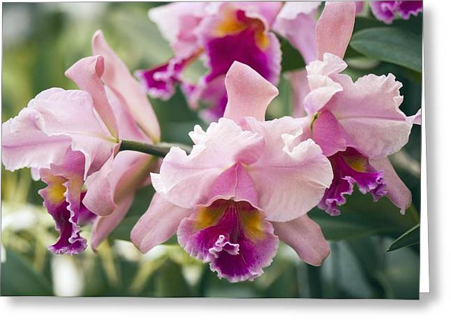 Orchid (cattleya Sp.) Greeting Card by Maria Mosolova