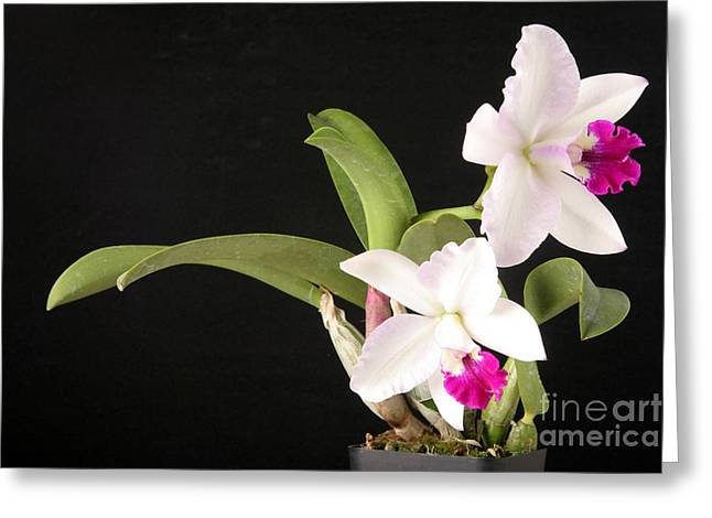 Orchid In Bloom Greeting Card by Ted Kinsman