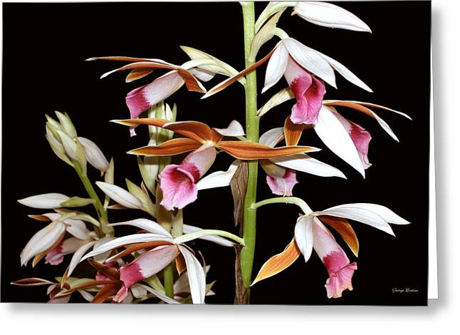 Orchids 006 Greeting Card by George Bostian