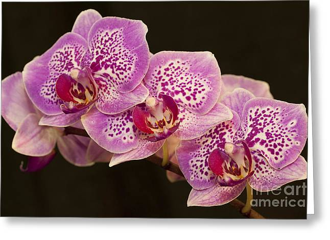 Greeting Card featuring the photograph Orchids by Eunice Gibb