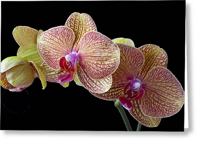Orchids Greeting Card by Garry Gay