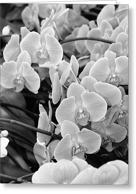 Orchids IIi Bw Greeting Card by William Dey
