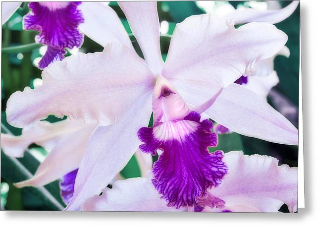 Greeting Card featuring the photograph Orchids White And Purple by Steven Sparks