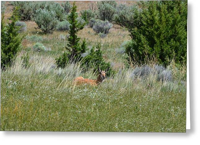 Oregon Antelope Greeting Card by Melissa  Maderos