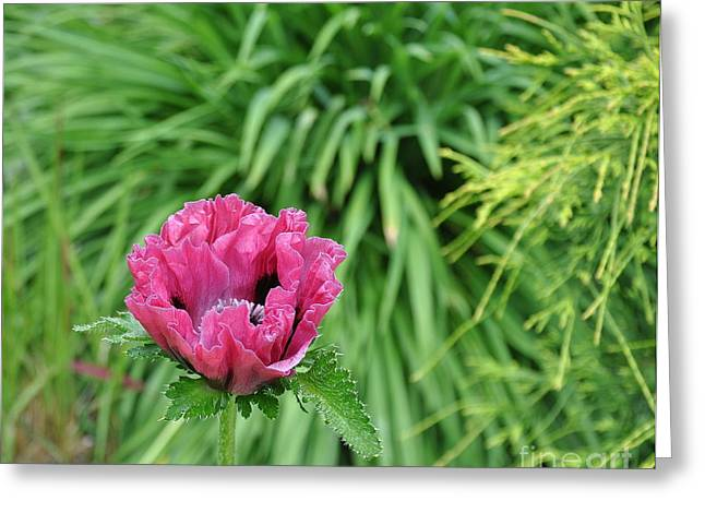 Oriental Poppy Bloom Greeting Card