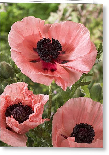 Oriental Poppy Papaver Orientale Salmon Greeting Card by VisionsPictures