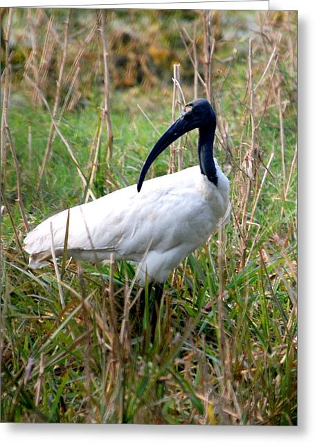 Greeting Card featuring the photograph Oriental White Ibis by Pravine Chester