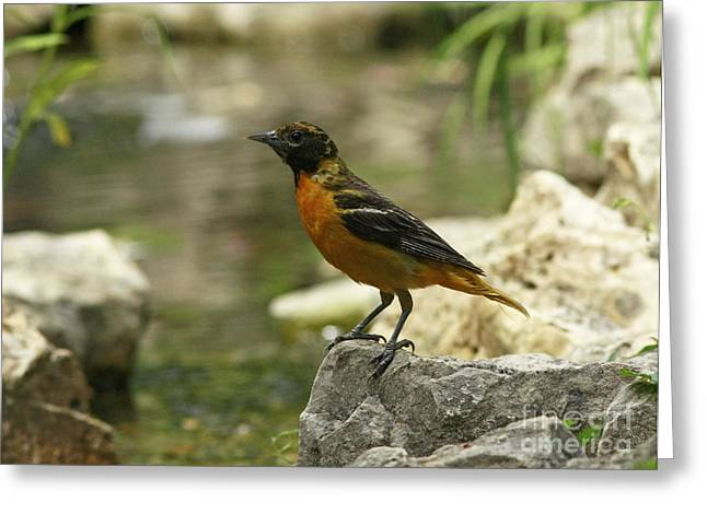 Oriole At The Waters Edge Greeting Card by Inspired Nature Photography Fine Art Photography