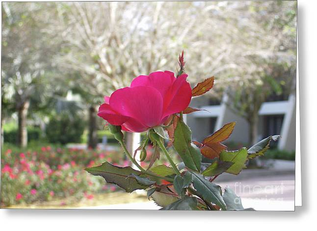 Orlando Rose Greeting Card by Jane Whyte