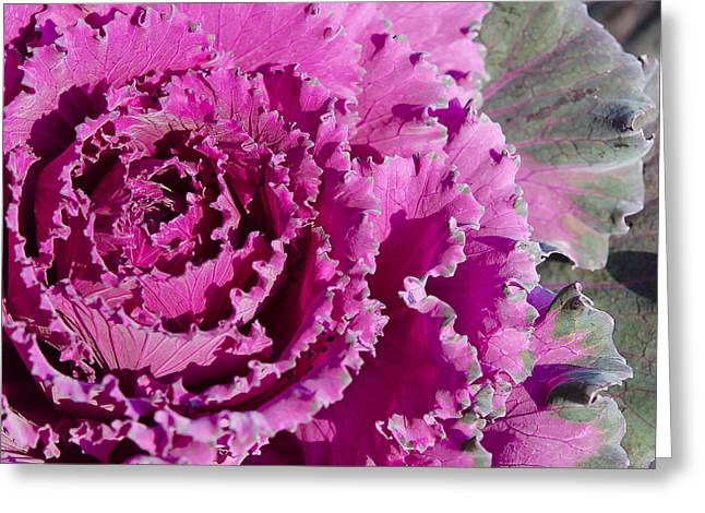 Ornamental Kale Greeting Card by MaryJane Armstrong