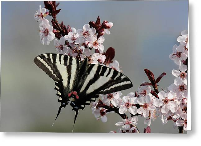 Ornamental Plum Blossoms With Zebra Swallowtail Greeting Card
