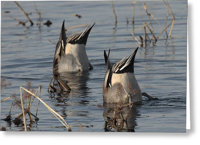 Orthern Pintails Tail Up Dabbling Greeting Card by George Grall