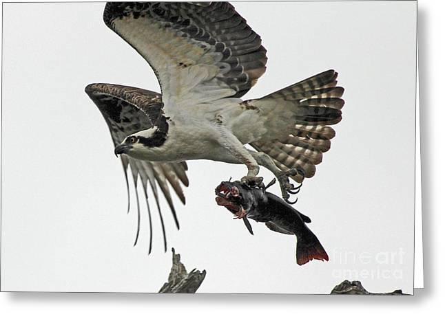Greeting Card featuring the photograph Osprey - Catfish by Larry Nieland