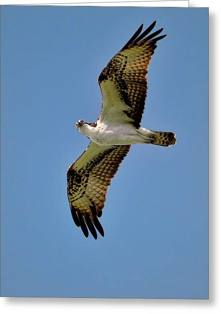 Osprey Above Greeting Card